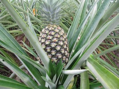 costa rica fair und umweltfreundlich angebaute ananas gefragt deutsche gesellschaft f r die. Black Bedroom Furniture Sets. Home Design Ideas